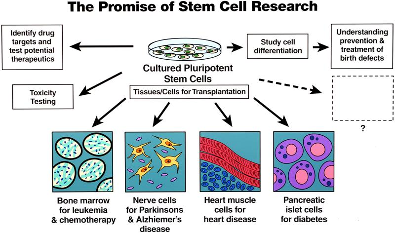 should embryonic stem cell research be allowed The soon will is an absolute lienot a misstatement, notmisinformation, but a pure lie embryonic stem cells will never be approved because of things weare not allowed to hear.