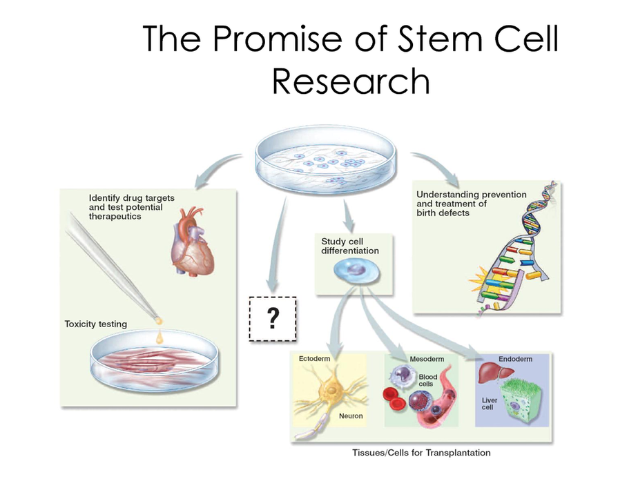 the major characteristics and potentials of stem cells Stem cells are present in our body in abundance but they have much more potential in the fetus than adults there are some kinds of stem cells, which can create every other cell in human body and this is the time when the moral status of the embryo increases since it acquires human characteristics.